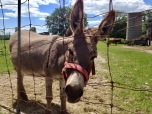 Marvin the miniature donkey in Glen Tay.