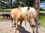 Barbara the miniature horse in Glen Tay